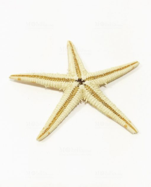 stella marina grande