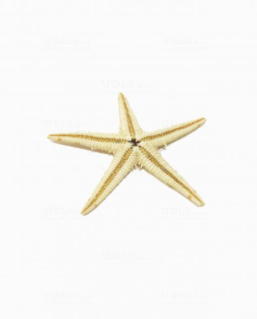 stella marina piccola