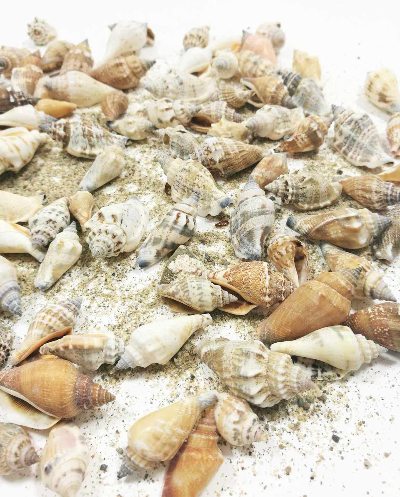conchiglie marine bomboniere applicazioni per decorazione - Conchiglie Per Decorazioni
