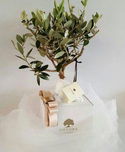 bomboniera bonsai ulivo confezionato paola rolando