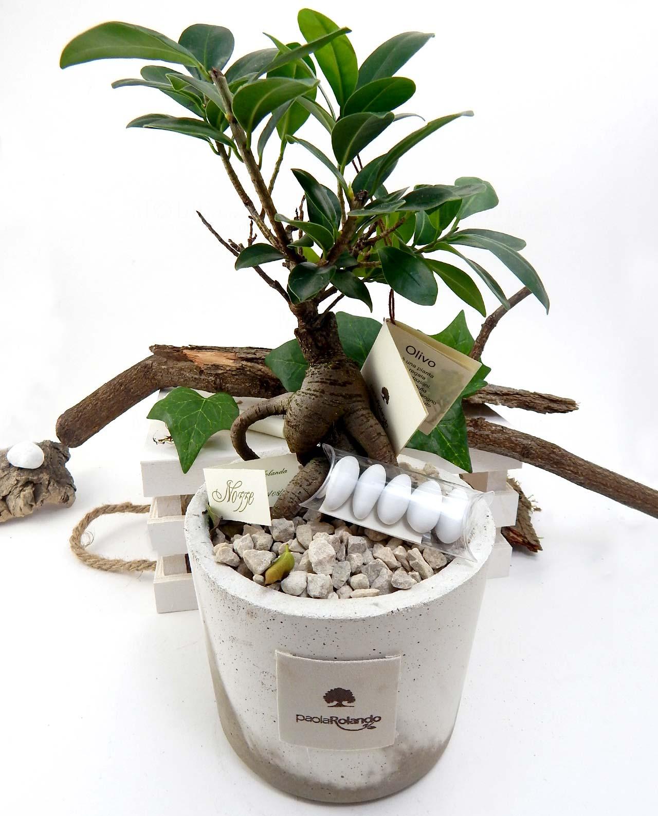 Matrimonio Tema Ulivo : Bomboniera bonsai ginseng vaso cemento bianco paola