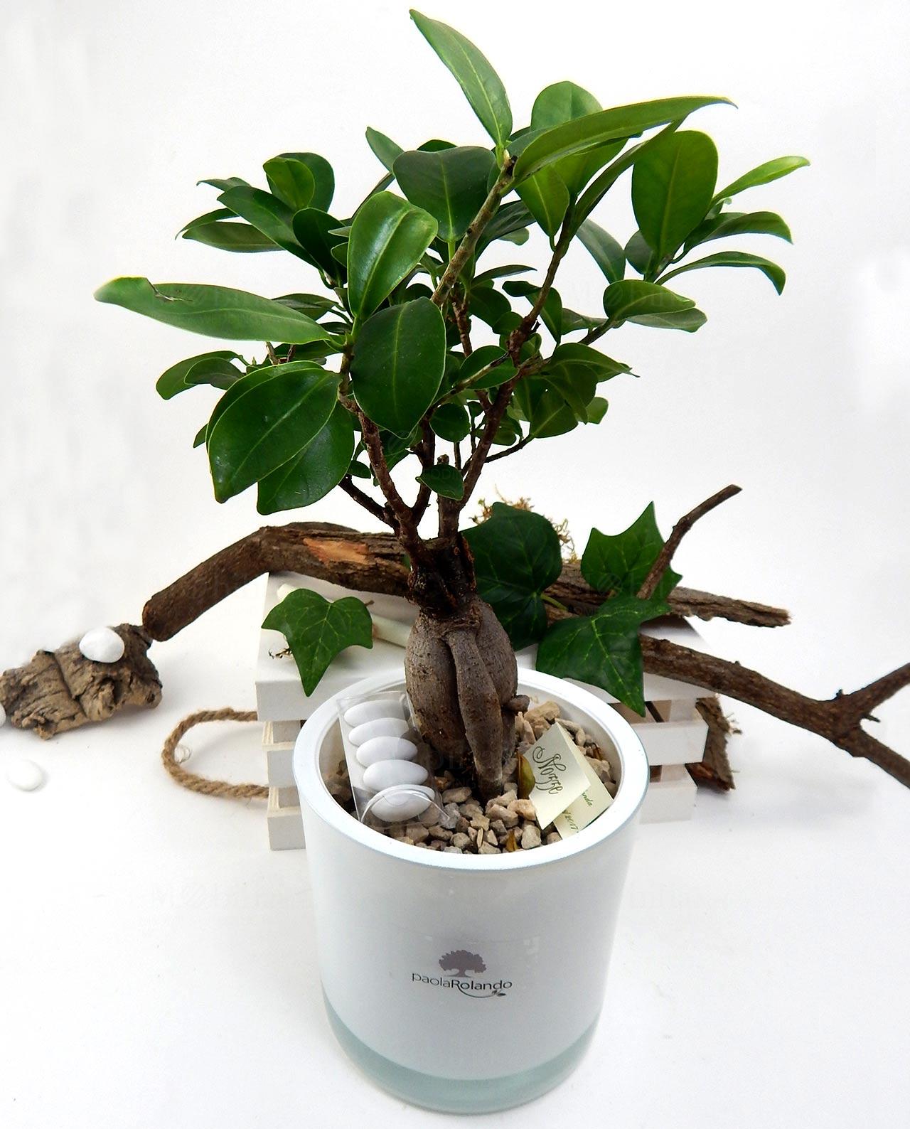 Bomboniera bonsai ginseng vaso vetro bianco Paola Rolando - Mobilia ...