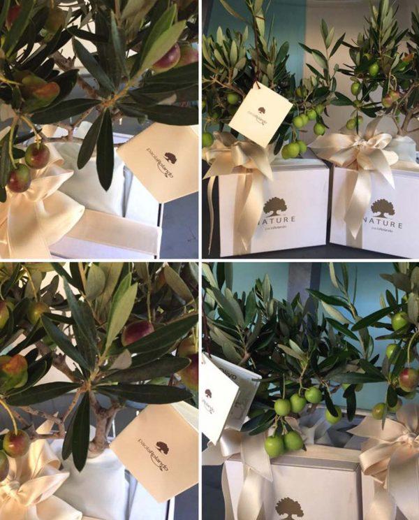 bonsai ulivo confezionato con nastro panna paola rolando
