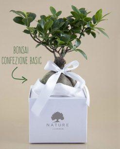 bomboniera bonsai ginseng paola rolando con nastro e scatola