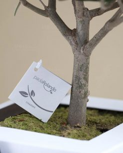 bomboniera bonsai ulivo paola rolando