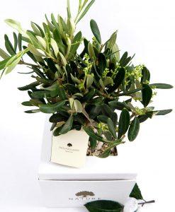 pianta ulivo con scatola paola rolando