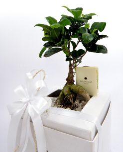 bomboniera matrimonio bonsai ginseng paola rolando