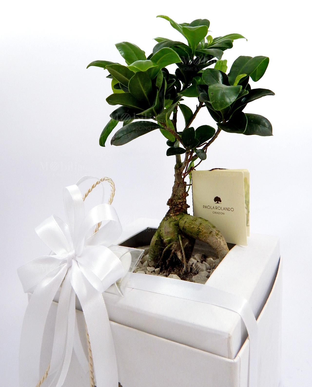 Bomboniera bonsai vivo con vaso in cemento bianco Paola Rolando ...
