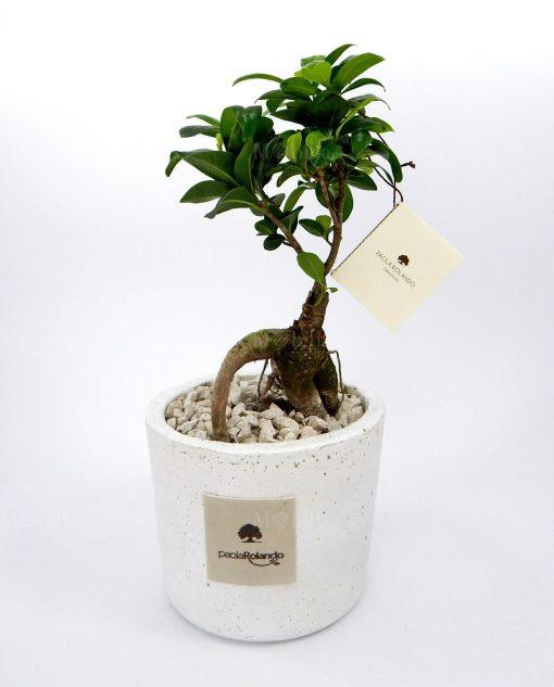 bonsai ginseng con vaso in cemento bianco paola rolando