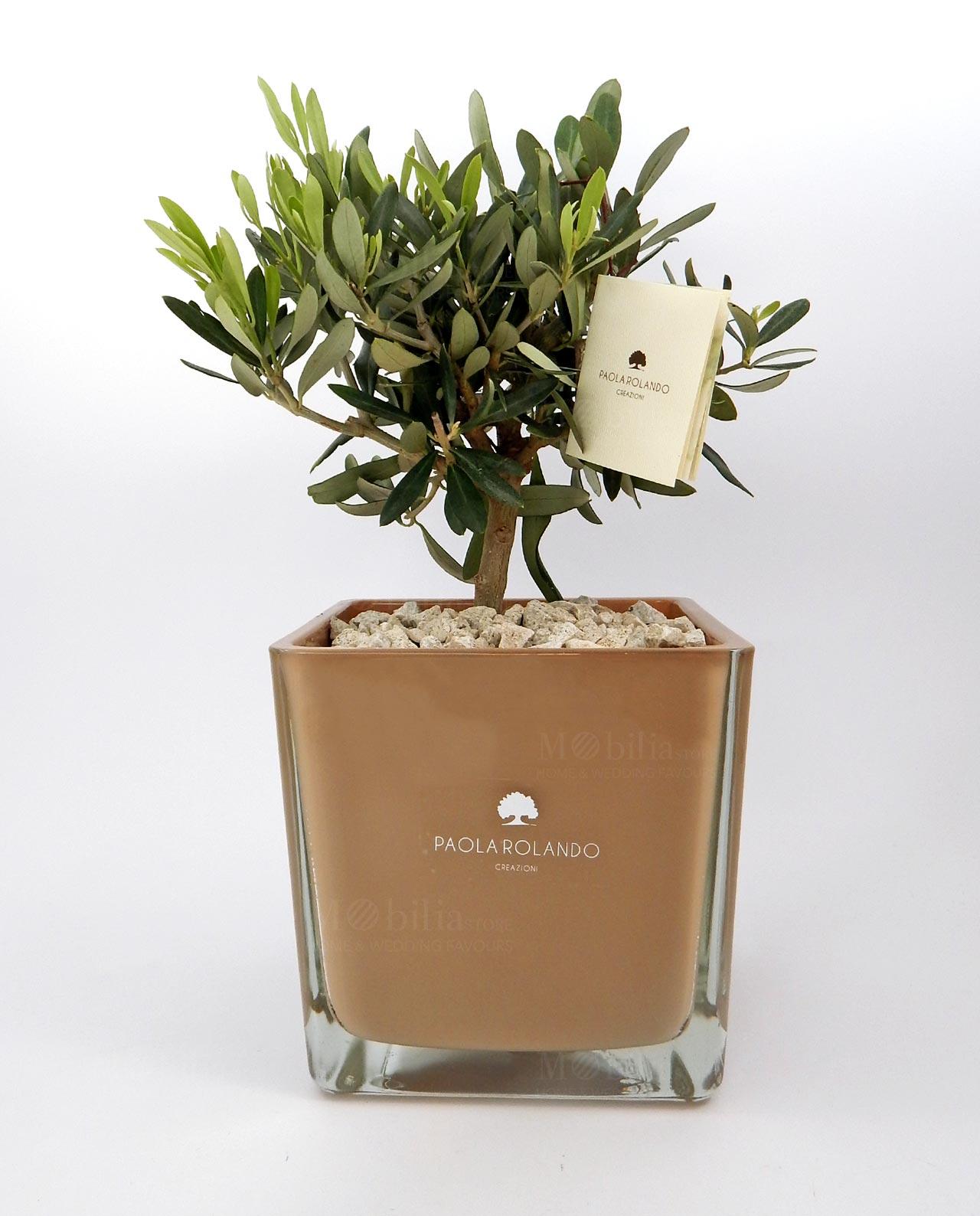 Bomboniera pianta di ulivo con vaso in vetro nocciola for Acquisto piante ulivo
