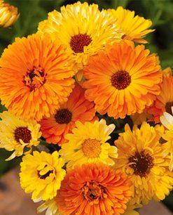 semi fiori calendula