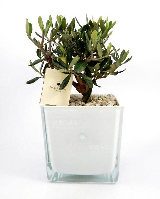 ulivo con vaso in vetro bianco paola rolando