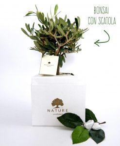 bonsai ulivo con scatola paola rolando