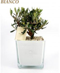 ulivo con vaso quadrato vetro colore bianco paola rolando