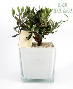 ulivo con vaso vetro bianco paola rolando